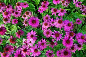 Эхинацея – лечебные свойства и противопоказания, как принимать
