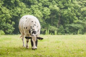 Молозиво коровы - польза и потенциальный вред