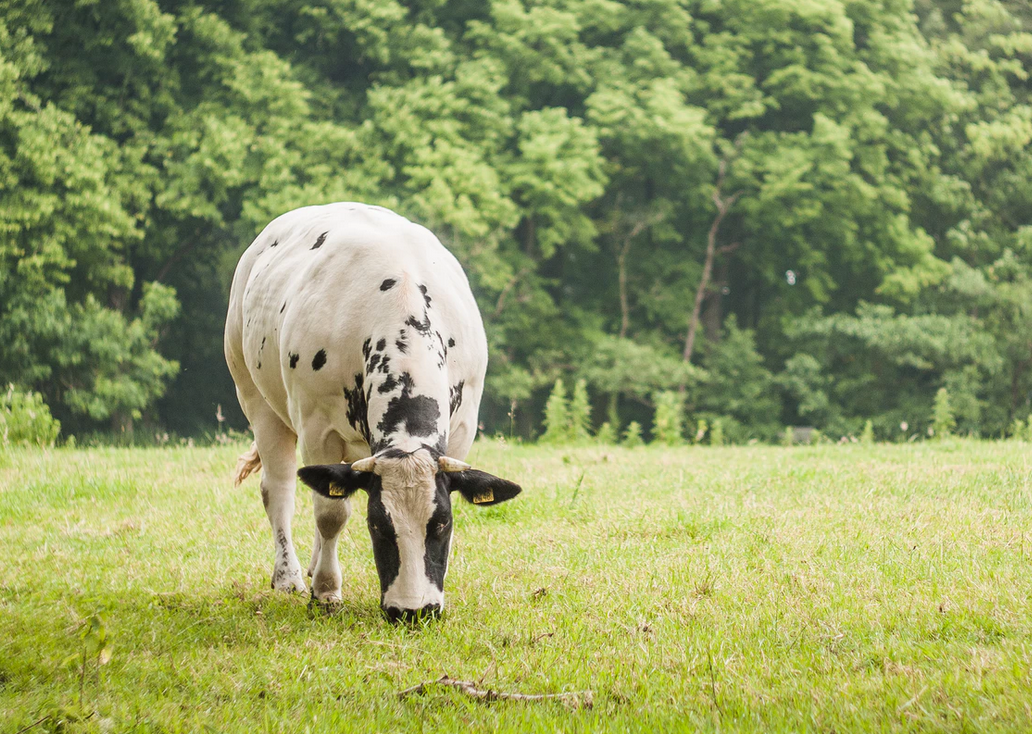 молозиво коровье польза и вред