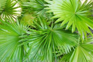 Карликовая пальма (saw palmetto) для мужчин