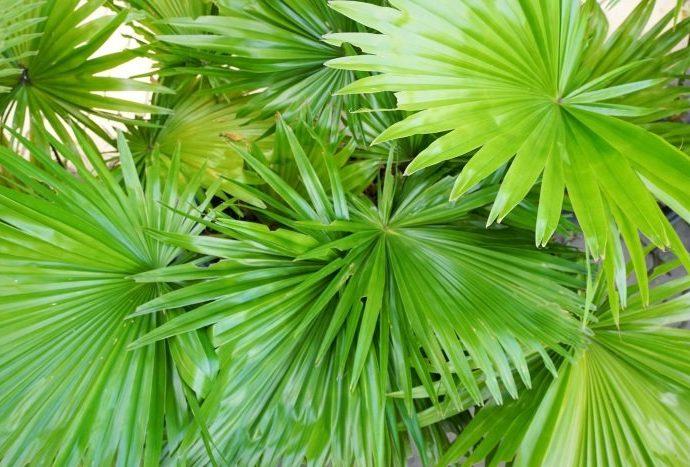 Карликовая пальма для мужчин