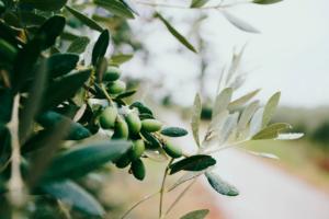 Оливковый лист - свойства и применение в лечебных целях