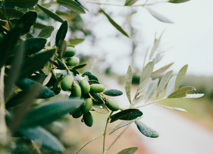 Оливковый лист свойства