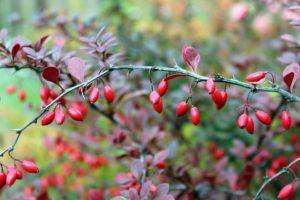 Барбарис (кустарник) - полезные свойства ароматных ягод