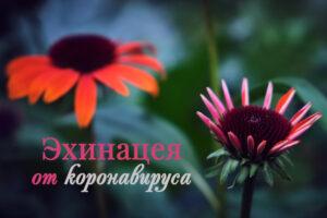 Эхинацея от коронавируса - поможет ли